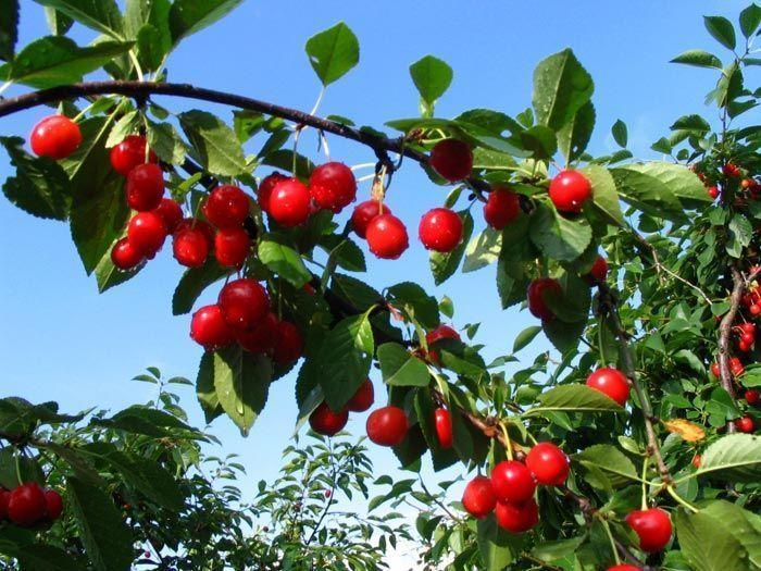 5 simples pasos para convertir cualquier árbol en frutal