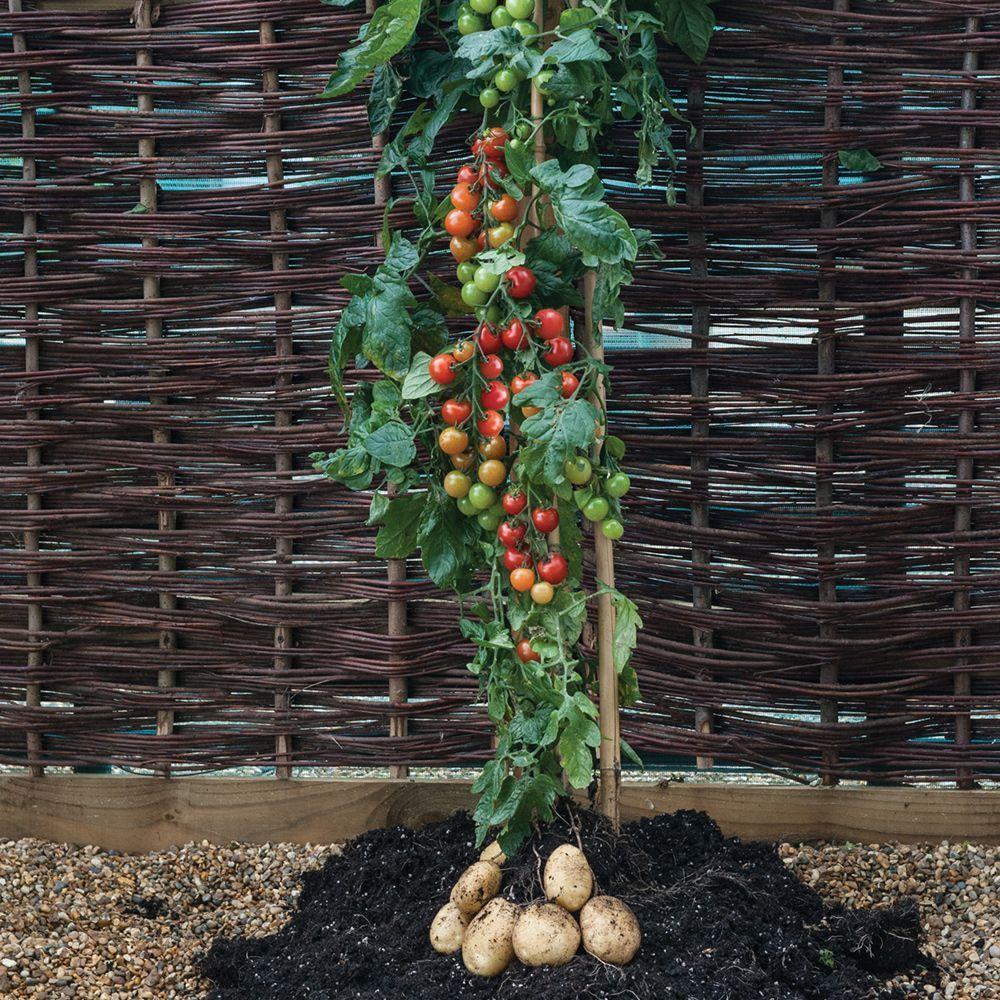 TomTato: una la planta que da papas y tomates