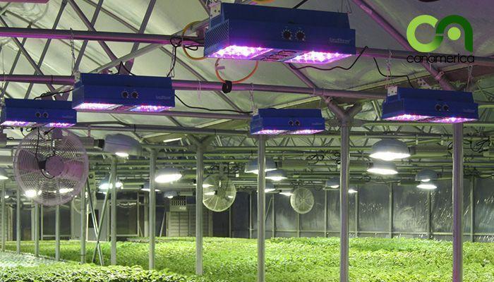 El cultivo de interiores en auge gracias a la bajada de precio de LEDs