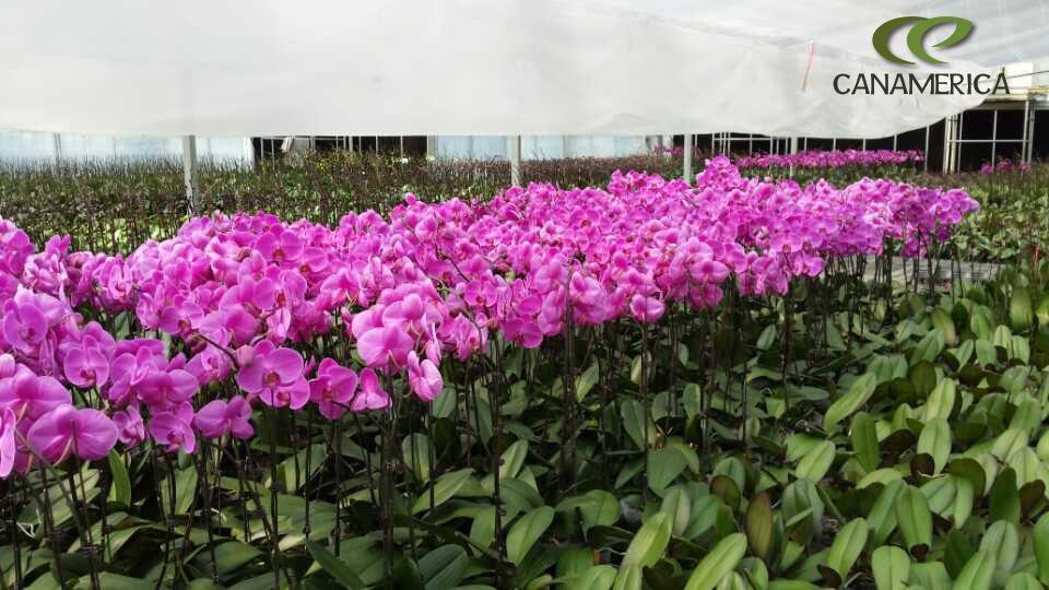 Canamérica visita los invernaderos de orquídeas de Foshan en China