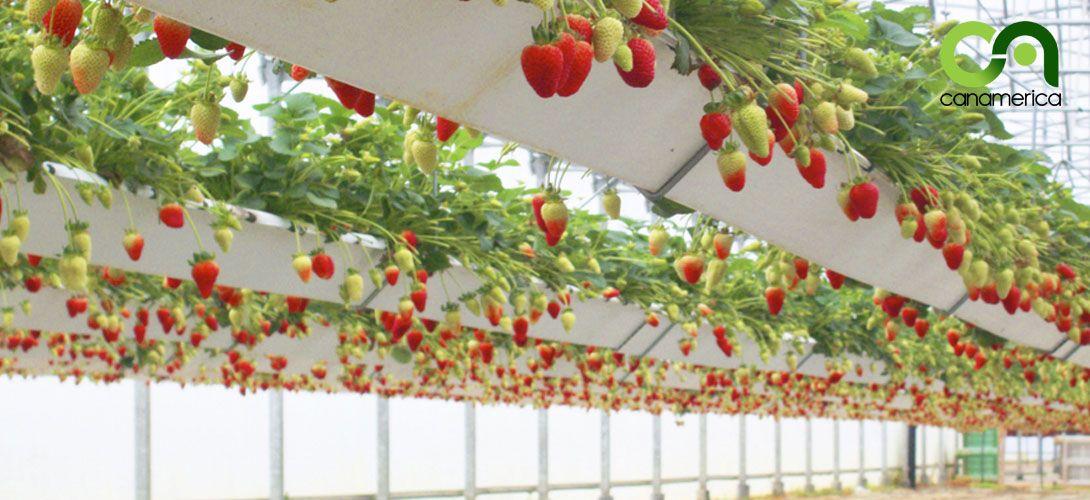 sistema-de-cultivo-canalv-canamerica-3