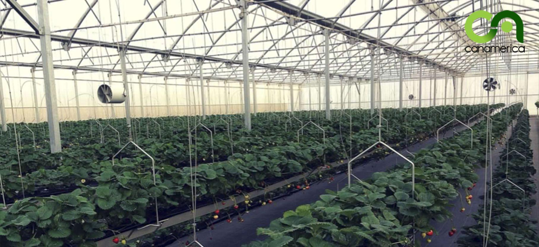 sistema-de-cultivo-canalv-canamerica-6